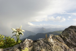 Edelweiss on a rock and an approaching thunderstorm in the background